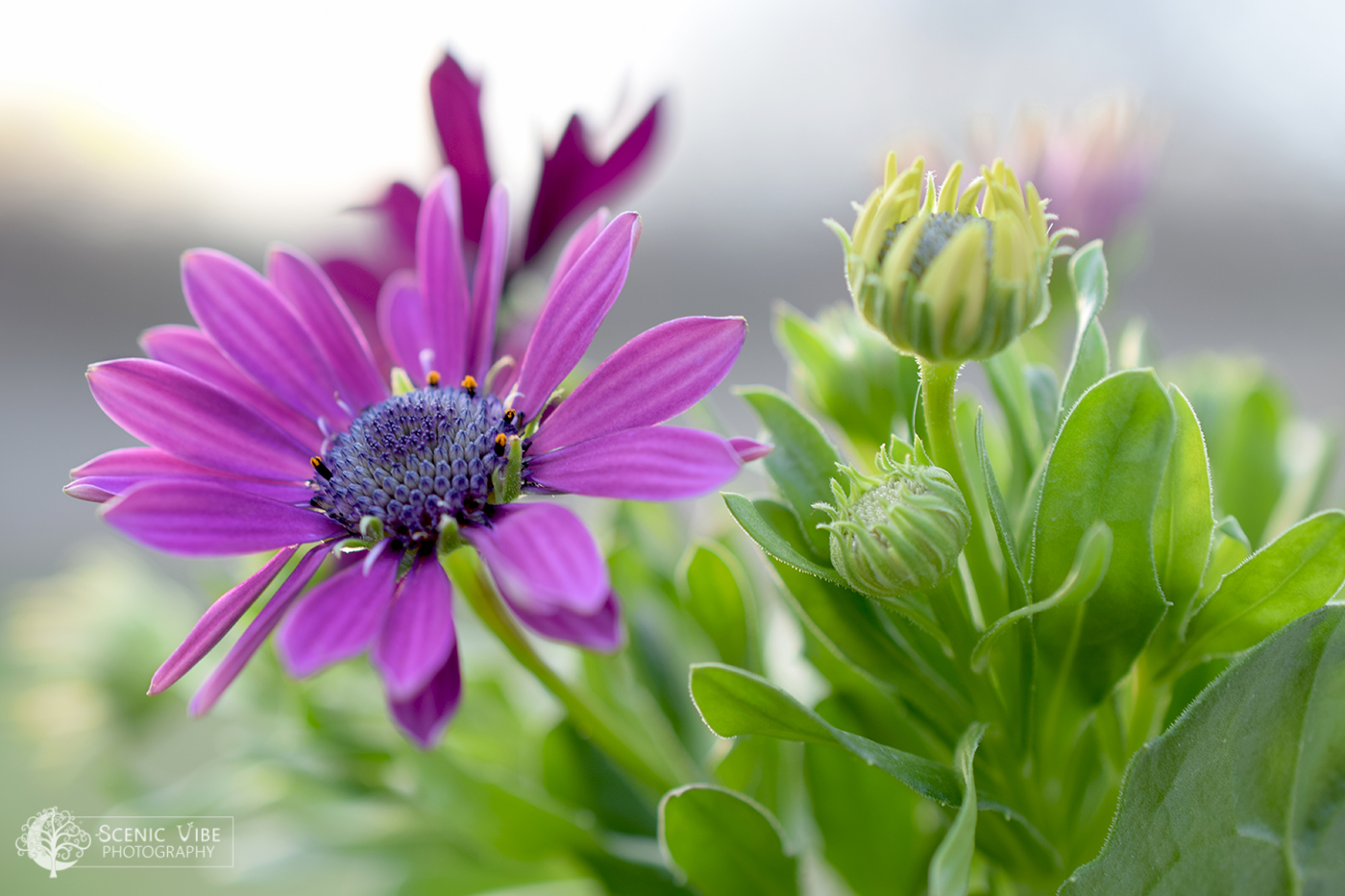 Purple Daisy Blooms